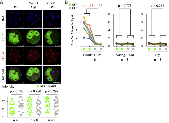 Asymmetric Expression of LincGET Biases Cell Fate in Two-Cell Mouse