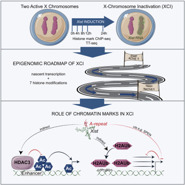 The Implication of Early Chromatin Changes in X Chromosome