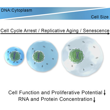 Excessive Cell Growth Causes Cytoplasm Dilution And Contributes to