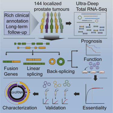 Widespread and Functional RNA Circularization in Localized