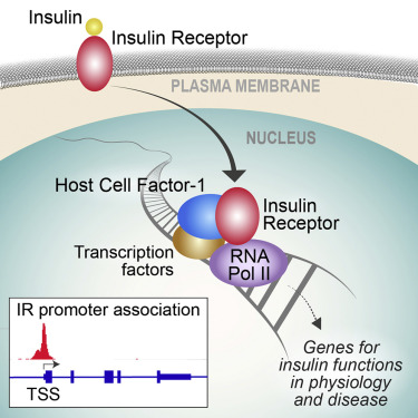Insulin Receptor Associates with Promoters Genome-wide and Regulates