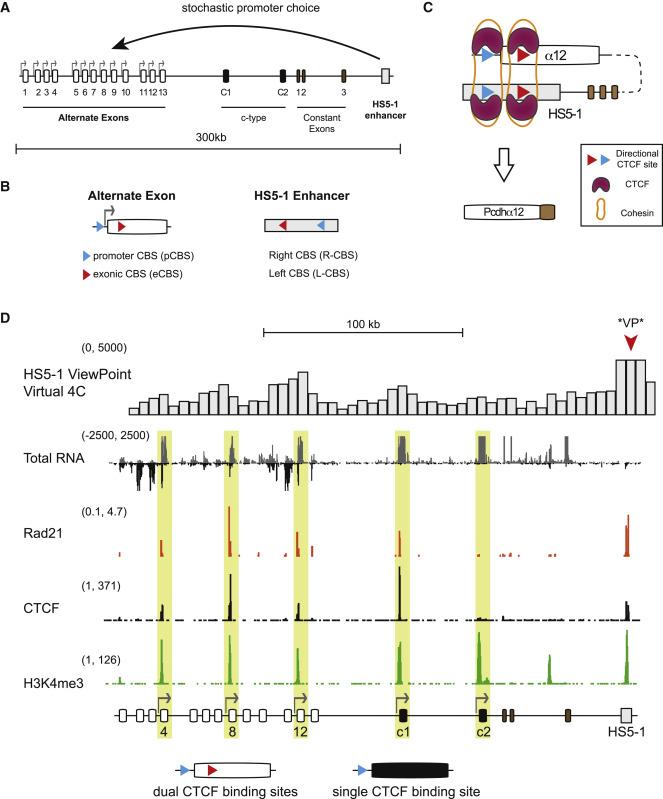 Antisense lncRNA Transcription Mediates DNA Demethylation to