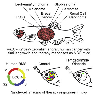 Visualizing Engrafted Human Cancer and Therapy Responses in