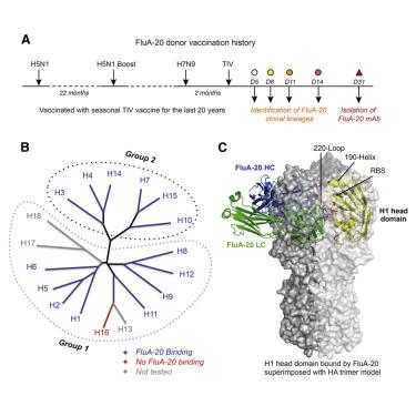 hemagglutinin diagram a site of vulnerability on the influenza virus hemagglutinin head  influenza virus hemagglutinin