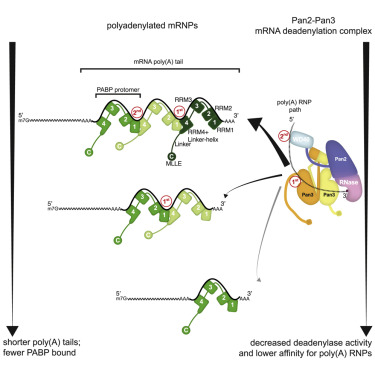 Molecular Basis for poly(A) RNP Architecture and Recognition