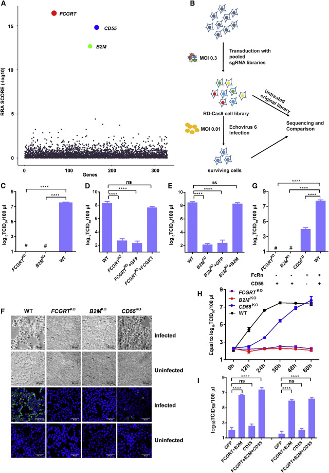 Human Neonatal Fc Receptor Is the Cellular Uncoating