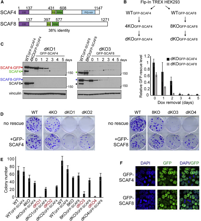 SCAF4 and SCAF8, mRNA Anti-Terminator Proteins - ScienceDirect