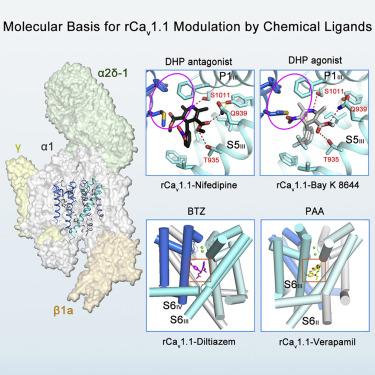 Molecular Basis for Ligand Modulation of a Mammalian Voltage-Gated