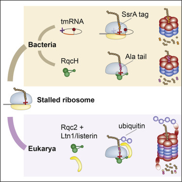 Alanine Tails Signal Proteolysis in Bacterial Ribosome