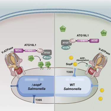 A Bacterial Effector Reveals the V-ATPase-ATG16L1 Axis that