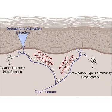 Cutaneous TRPV1+ Neurons Trigger Protective Innate Type 17