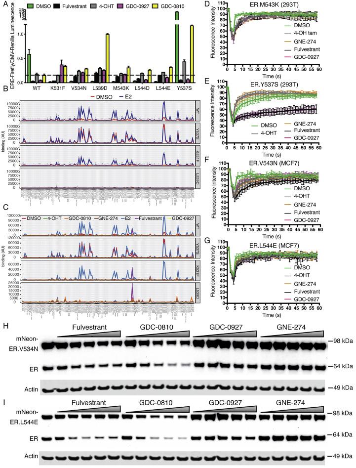 Therapeutic Ligands Antagonize Estrogen Receptor Function by