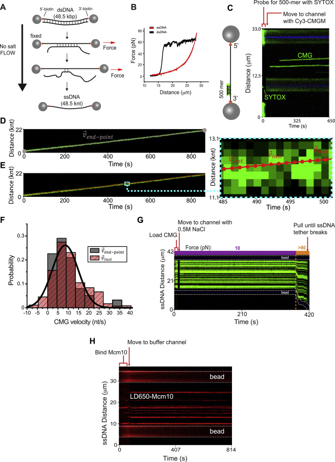 Replication Fork Activation Is Enabled by a Single-Stranded DNA Gate