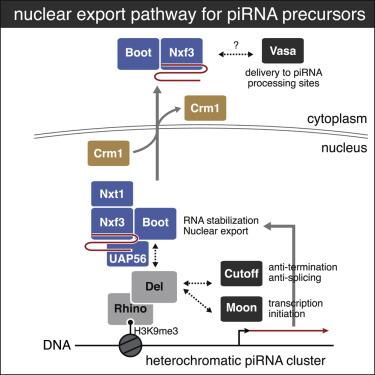 A Heterochromatin-Specific RNA Export Pathway Facilitates