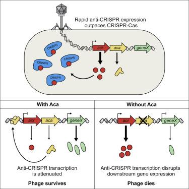 Anti-CRISPR-Associated Proteins Are Crucial Repressors of