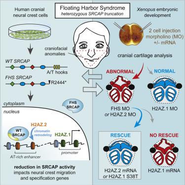 Single Amino Acid Change Underlies Distinct Roles of H2A Z