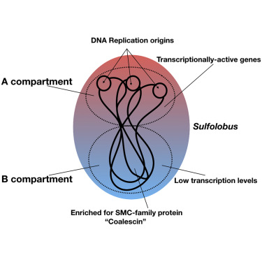 Enigmatic Chemical Tag Is Altered In >> Physical And Functional Compartmentalization Of Archaeal