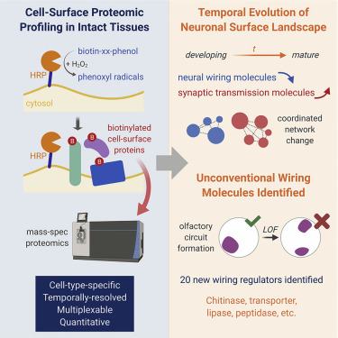 Cell-Surface Proteomic Profiling in the Fly in Uncovers ... on
