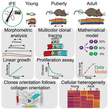 Defining The Design Principles Of Skin Epidermis Postnatal Growth Sciencedirect