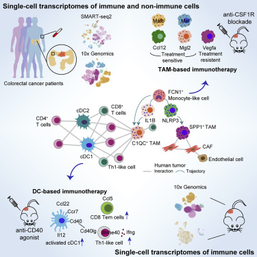 Single Cell Analyses Inform Mechanisms Of Myeloid Targeted Therapies In Colon Cancer Sciencedirect