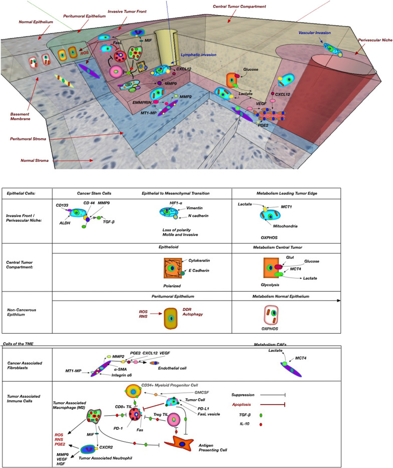 Tumor Microenvironment in Head and Neck Squamous Cell Carcinoma