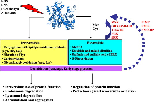Protein damage, repair and proteolysis - ScienceDirect