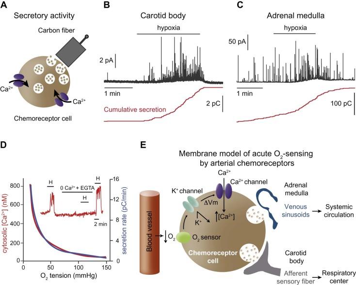 Oxygen-sensing by arterial chemoreceptors: Mechanisms and