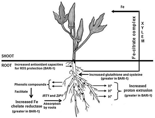 okra plant diagrams wiring diagrams lose Okra Varieties okra plant diagrams wiring diagram okra plant growth okra plant diagrams
