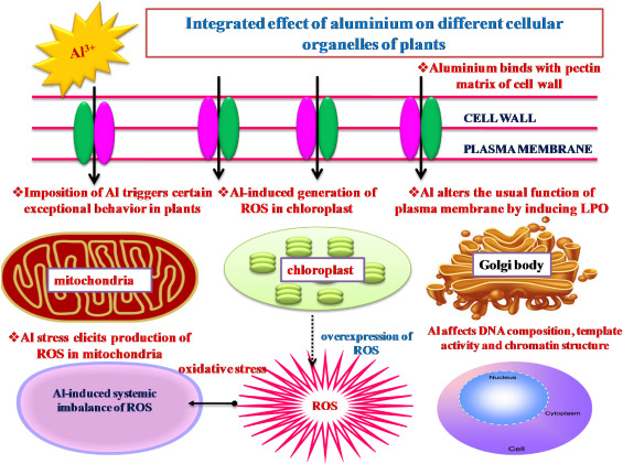 Toxicity Of Aluminium On Various Levels Of Plant Cells And Organism