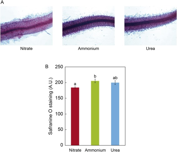 The proteome of Medicago truncatula in response to ammonium and urea