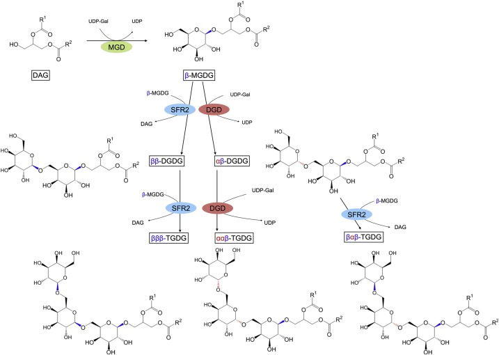 Evolution, biosynthesis and protective roles of oligogalactolipids