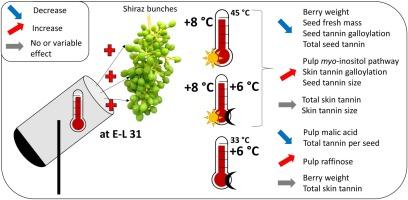 Impact of short temperature exposure of Vitis vinifera L  cv