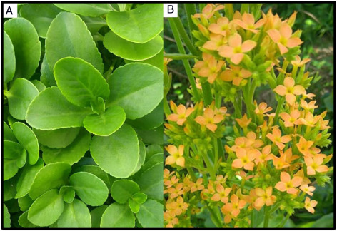 Kalanchoe laciniata and Bryophyllum pinnatum: an updated review
