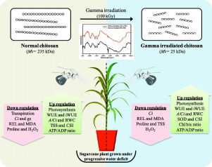 Foliar application of gamma radiation processed chitosan triggered