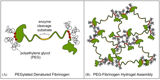 biosynthetic hydrogel scaffolds made from fibrinogen and