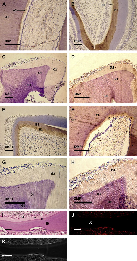 The use of dentin matrix scaffold and dental follicle cells