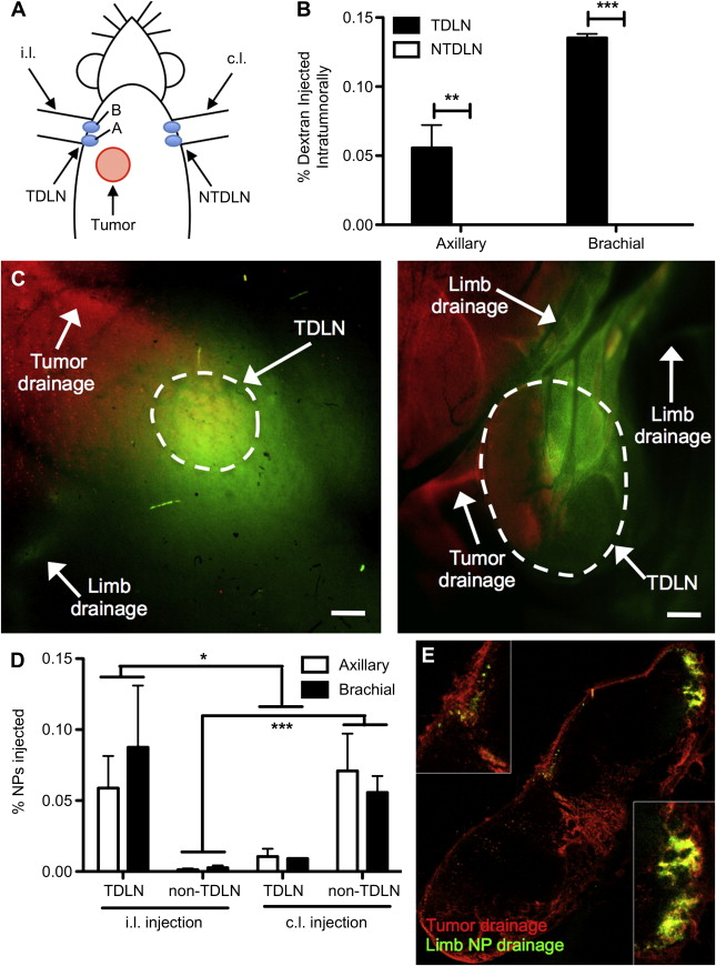 Targeting The Tumor Draining Lymph Node With Adjuvanted