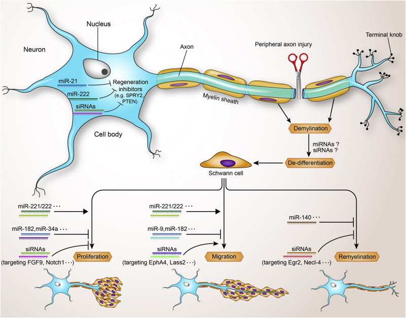 Neural tissue engineering options for peripheral nerve