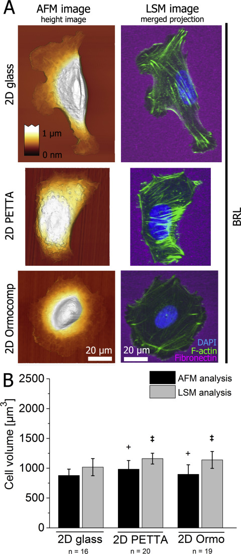 Cell type-specific adaptation of cellular and nuclear volume