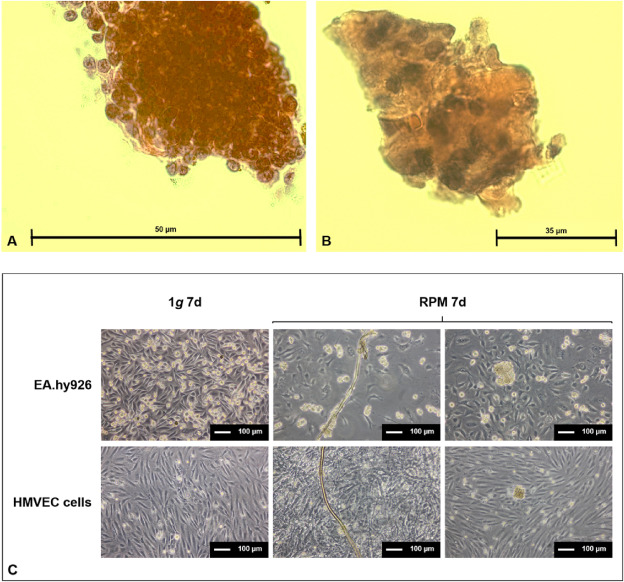 Comparison of histochemical staining of endothelial cell cultures that were analyzed by Myriad RBM