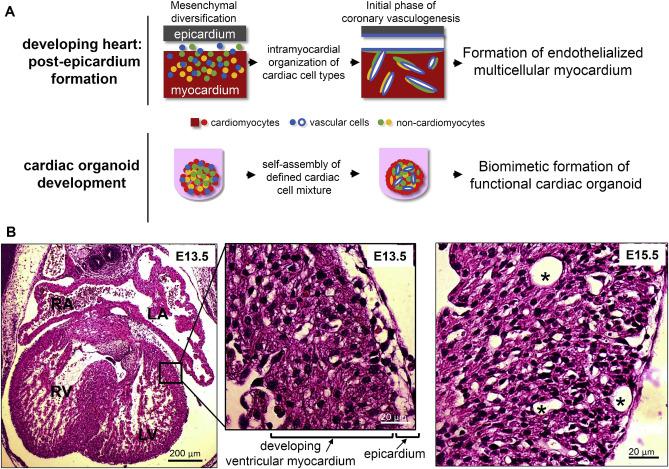 Inspiration from heart development: Biomimetic development of ...