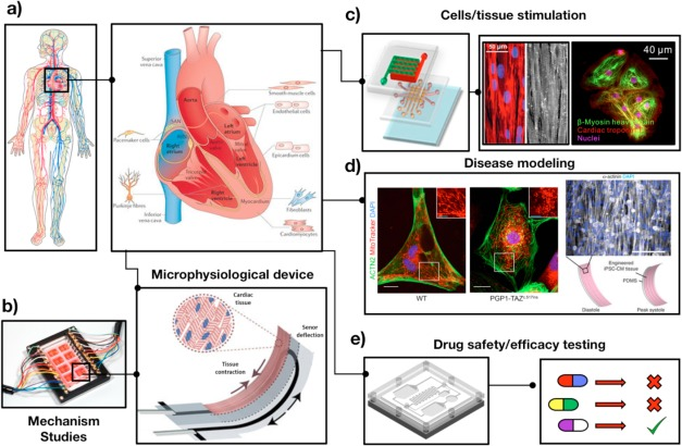 440449573b7e Biomimetic cardiovascular platforms for in vitro disease modeling ...
