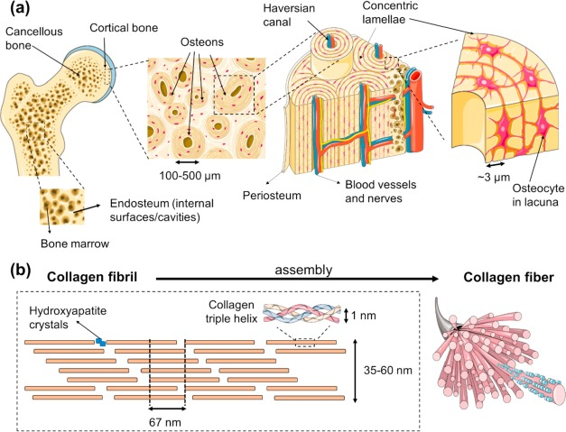 Bone Physiology As Inspiration For Tissue Regenerative Therapies Sciencedirect