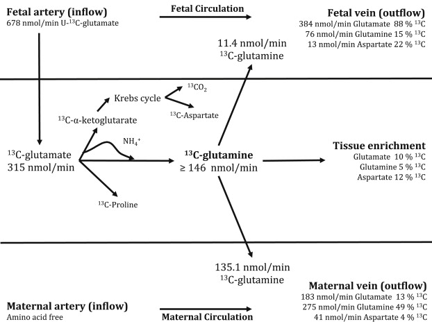 Partitioning Of Glutamine Synthesised By The Isolated Perfused Human