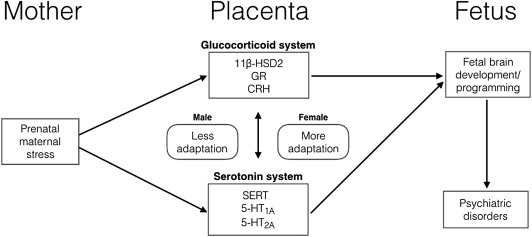 Effects Of Prenatal Maternal Stress On Serotonin And Fetal