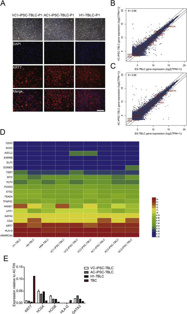 Generation of trophoblast-like cells from the amnion in vitro: A