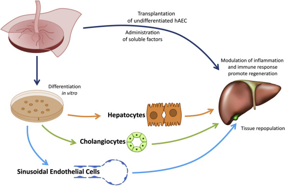Differentiation of amniotic epithelial cells into various liver cell ...