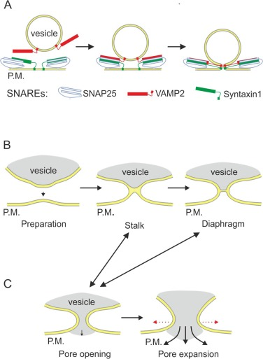 Fusion Pore In Exocytosis More Than An Exit Gate A Cell