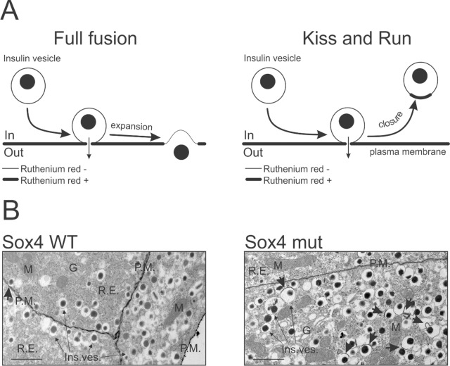 Fusion pore in exocytosis: More than an exit gate? A β-cell