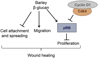 Barley B Glucan Accelerates Wound Healing By Favoring Migration